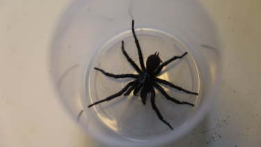 Just in time for Christmas, the Australian Reptile Park has received a massive amount  funnel-web spiders