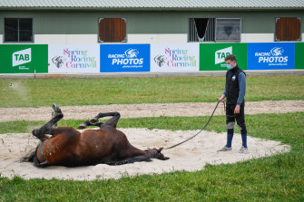 Master Of Reality, which placed in last year's Melbourne Cup, has a roll in the sand at Werribee on Sunday.