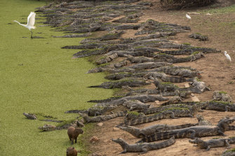 Alligators, capybaras and egrets stand on the banks of the Bento Gomes river whose waters are drying out, next to the Transpantaneira road at the Pantanal wetlands near Pocone, Mato Grosso state, Brazil.