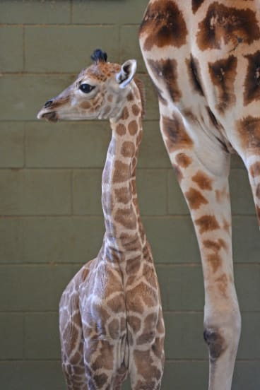 The baby giraffe will grow to an adult height and weight of nearly 6 metres and 2000kg.