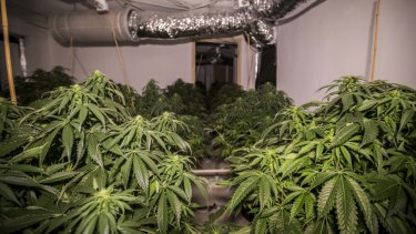 Cannabis plants at a Macgregor house that was raided by police in 2018.