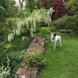 White honey-scented wisteria in Druse's garden