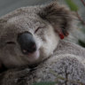 'Alarmingly relaxed': Government slammed for koala inquiry response