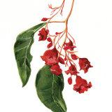 <i>Brachychiton acerifolius</i> (Illawarra Flame Tree).