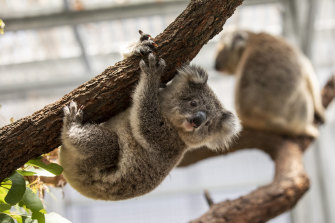 Hanging on: Koalas in NSW lost about one-fifth of their best habitat during the 2019-20 bushfires.