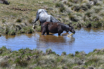 In for a drink: Brumbies near Kiandra off the Snowy Mountain Highway.