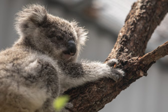 A bitter debate over planning policy involving koalas is threatening to split the Berejikian government.