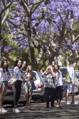 Tourists flock to MacDougall Street in Kirribilli to photograph jacarandas.