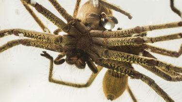 Golden huntsman spiders mating at Taronga Zoo as part of their breeding program.
