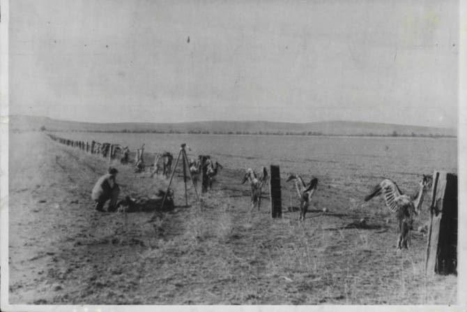About 28 dead wedge-tailed eagles on a farm fence on March 2, 1963.