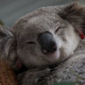 National MP who kicked off crossbench furore's own council supports koala policy