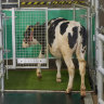'Moo-loo': Scientists are potty-training cows helps to save planet