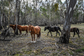Parks Victoria plans to cull 100 brumbies every year for the next four years in the Barmah National Park.