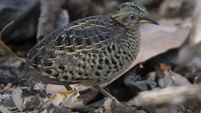 The red-backed button quail typically measured a tiny12-16 centimetres.