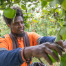 First Pacific workers help farmers pick a way through labour shortage