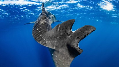 Ningaloo whale sharks show sharp increase in boat collision injuries