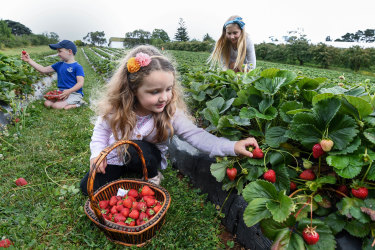 (back) Chloe Stephen, 9, (middle) Ryley Stephen, 5, and (front) Amber Stephen, 3, picking strawberries atBlue Hills Berries & Cherries.Pick-your-own fruit - farms in Victoria where you can forage for fruit and vegetables such as berries and stonefruit during the summer holidays.