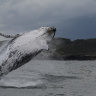 Superheroes of the deep: humpbacks bounce back from near extinction to help fight climate change