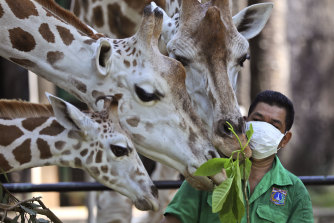 A keeper wearing protective face mask feeds giraffes at Ragunan Zoo prior to its reopening this weekend after weeks of closure during the pandemic.