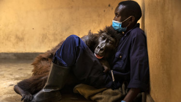 Ndakasi, lies in the arms of her caregiver, Andre Bauma, before her death.