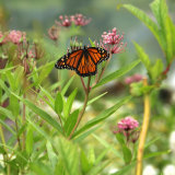 The monarch butterfly is attracted to the scent of milkweed plants.