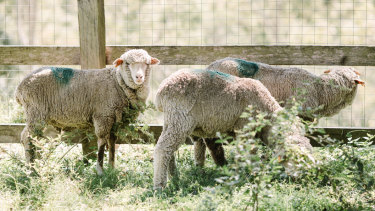The three sheep surrendered during the Carey Bros Abattoir protest are at the Farm Animal Rescue sanctuary.