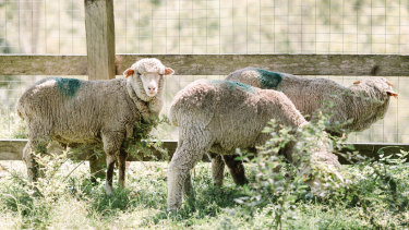 The three sheep surrendered during the Carey Bros. Abattoir protest are at the Farm Animal Rescue sanctuary.