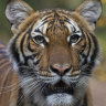 Tiger tests positive for coronavirus at New York's Bronx Zoo