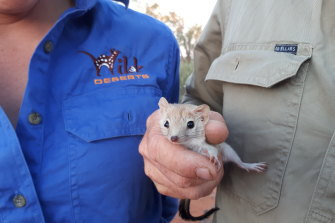 A helping hand is needed to give the mulgara, a small, carnivorous marsupial related to the Tasmanian devil and the thylacine, a fighting chance in the wilds of western NSW.