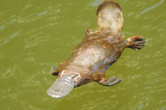 "The platypus is listed as ""near-threatened"" on the International Union for Conservation of Nature Red List."