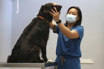 Veterinarian Dr Angela Pantangco, examines Border Collie 'Harper' at the Sydney University Veterinary Hospital.