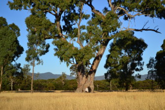 A tree said to be an Indigenous 'birthing tree' on the Western Highway near Ararat.