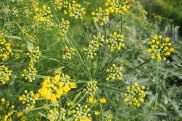 Fennel in flower at Glenmore House.