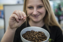 Anyone for cricket? Skye Blackburn, founder of the Edible Bug Shop, samples roast insects at the Royal Melbourne Show.