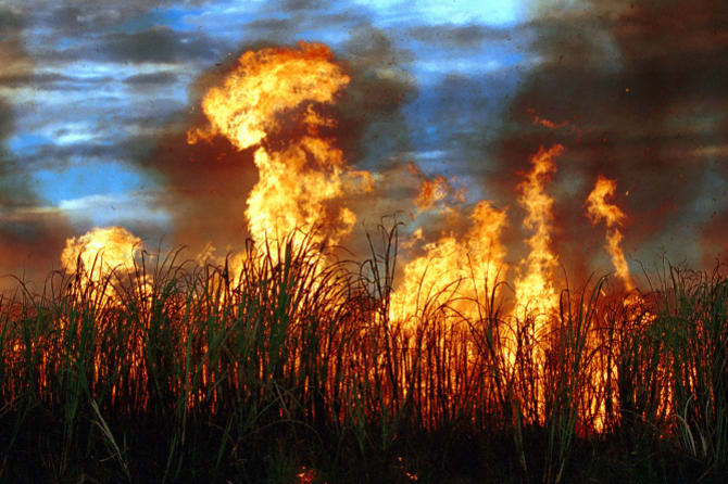Sugar cane (burned as part of the harvest process). Politicians fear that a sugar tax would see their goodwill with cane farmers go up in smoke.