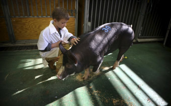 Eight-year-old Lachlan Potts has been showing pigs for four years.