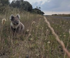 The five Queensland sections of the federal government's proposed  Inland Rail project pass through or close to critical koala habitats, latest information shows.