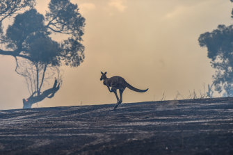 A kangaroo flees a fire in Plenty last month.