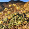 Ultra-rare wildflower stops Australian lithium company in its tracks