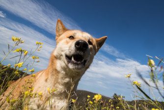 Over the years, the legal status of dingoes has become as contradictory as their temperaments, reflecting Australia's love-hate attitude towards them.