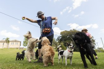 A dog walker plays with several dogs in the vast grounds of Callan Park.