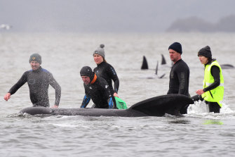 Members of a rescue crew help a stranded whale on a sand bar in Tasmania.