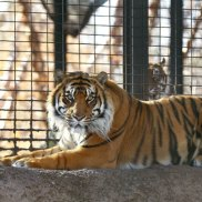 'There was some sort of error': Rare tiger attacks US keeper