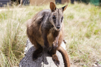 A wallaby and other native Australian animals managed to sit outside together.