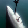 'Human life must be prioritised': Premier bites back over shark culls