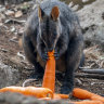 Massive food drop to help save endangered wallabies in fire-affected areas