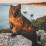 The island's most famous resident – the quokka.
