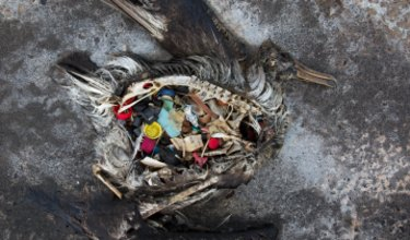 A black footed albatross chick with plastics in its stomach lies dead on Midway Atoll in the Northwestern Hawaiian Islands. Midway sits in the Great Pacific Garbage Patch.