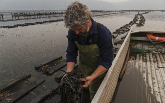 """Greg Carton, owner of Broadwater Oysters in Pambula, says the oysters seem to be clearing it the ash well. """"They're remarkable little creatures."""""""