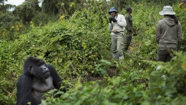 A tourist takes photos of a male silverback mountain gorilla in Rwanda.